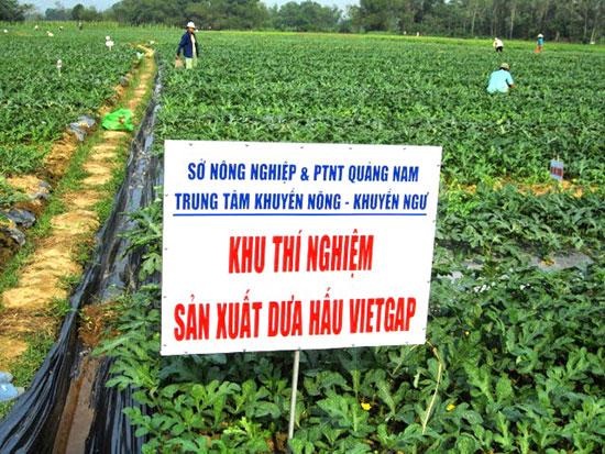 Ngành khuyến nông tỉnh hỗ trợ nông dân Phú Ninh trồng dưa hấu VietGAP.Ảnh: V.NGUYỄN
