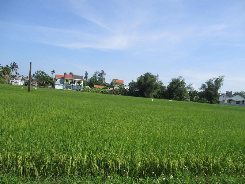 The rice field in An My village