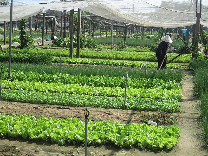 Green space in Tra Que vegetable village