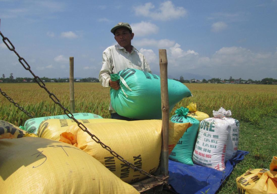 Đông xuân vừa qua, tổng sản lượng lúa của tỉnh đạt 245.000 tấn, tăng 5.800 tấn so với cùng vụ sản xuất năm ngoái. Ảnh: VĂN SỰ