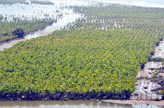 Vùng đông nam, sự xuất hiện của nhiều dự án đô thị, du lịch nghỉ dưỡng khiến diện tích đất rừng phòng hộ giảm rõ rệt.  TRONG ẢNH: Rừng dừa trồng mới hơn 2 năm tuổi ở xã Cẩm Thanh, TP.Hội An.  Ảnh: H.PHÚC