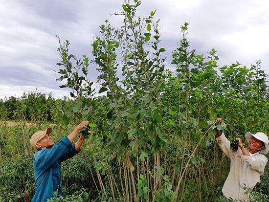 Vườn dâu được duy trì ở vùng Gò Nổi, Điện Bàn.  Ảnh: B.L