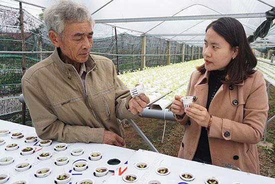 Nông dân phường Điện Ngọc phát triển mô hình trồng rau sạch. ảnh: Như Trang