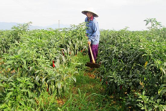 Mô hình sản xuất cây trồng cạn theo hướng hàng hóa ở xã Duy Châu cho giá trị kinh tế cao.Ảnh: H.N