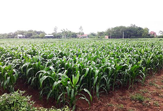 Huyện Duy Xuyên chuyển đổi mạnh đất lúa kém hiệu quả sang trồng bắp.  Ảnh: TR.HỮU