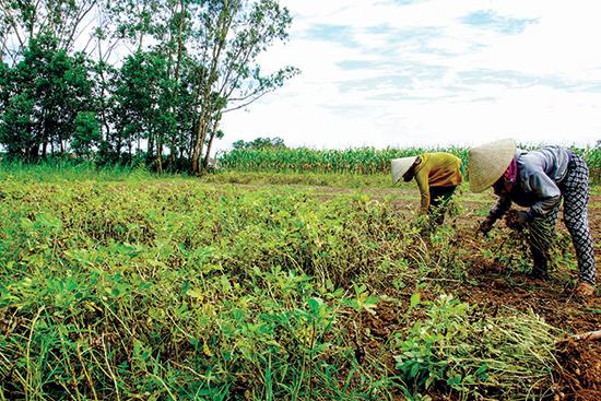 Theo tính toán của ngành nông nghiệp, lợi nhuận từ cây đậu phụng cao gấp nhiều lần so với trồng lúa. Ảnh: PHƯƠNG THẢO