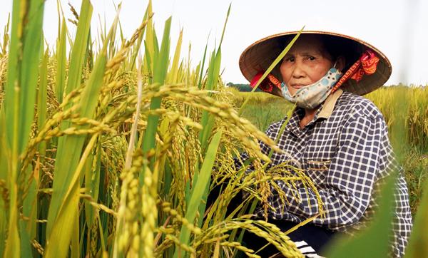 Năng suất bình quân tại cánh đồng tích tụ của xã Bình Chánh đạt 65 tạ/1ha.