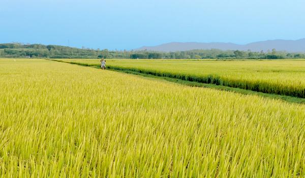 Cánh đồng tích tụ ruộng đất và liên kết sản xuất lúa giống rộng gần 55ha của xã Bình Chánh.