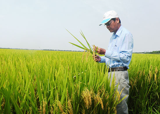 Mô hình liên kết sản xuất giống lúa hàng hóa ở HTX Đại Thắng mang lại hiệu quả kinh tế cao.  Ảnh: H.NHI