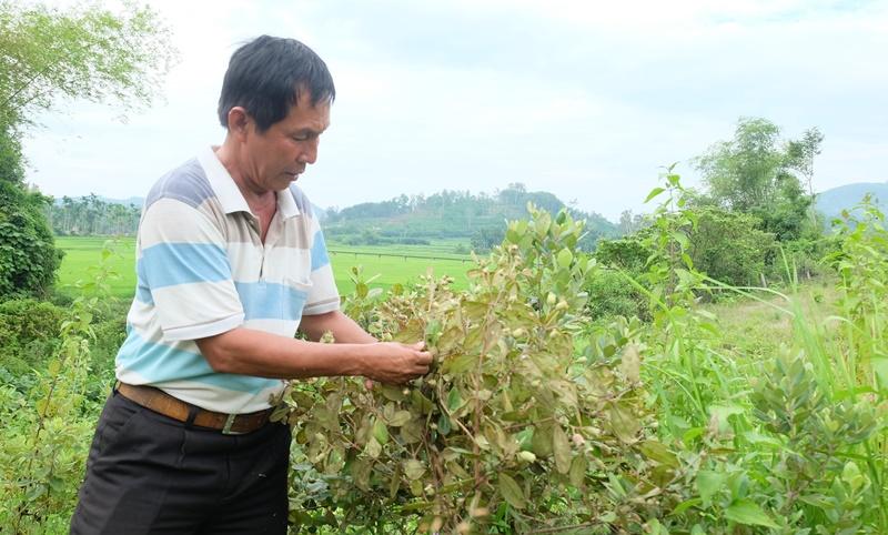 Ông Huỳnh Đăng Khôi đang thu hoạch sim chín. Ảnh: L.T