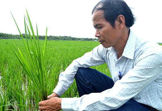 Ông Võ Tấn Sanh rất kỳ vọng vào thành công của chương trình trồng nếp hương. Ảnh: V.Q