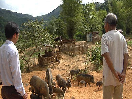 Mô hình nuôi heo đen bản địa tại xã A Rooih mang lại hiệu quả kinh tế khá cho đồng bào nơi đây. Ảnh: T.B