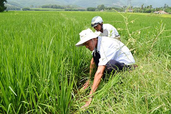 Kỹ sư Trần Văn A kiểm tra chân ruộng canh tác nếp bầu tại xã Tam Mỹ Tây. Ảnh: C.TÚ