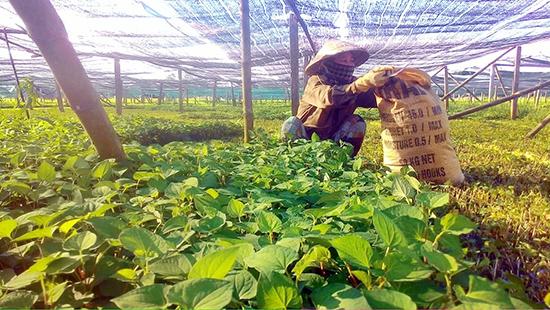 Người dân thôn An Thái thu hoạch rau diếp cá.