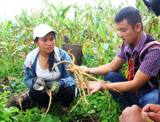 Người dân thu hoạch vụ mùa đảng sâm theo phương pháp trồng xen canh trên đất rẫy.  Ảnh: ĐĂNG NGUYÊN