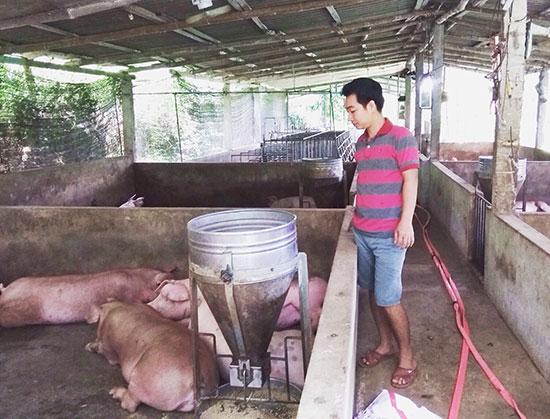 Anh Phan Văn Phước kiểm tra đàn heo thịt. Ảnh: Đ.Đ