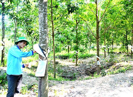 Người dân Bình Phú thu hoạch mủ cao su. Ảnh: V.Q