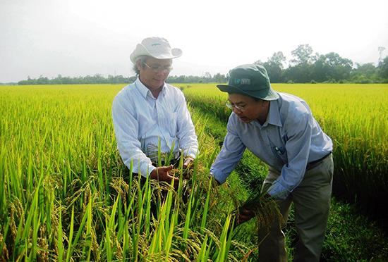 Mô hình liên kết sản xuất giống lúa hàng hóa giúp nông dân địa phương có nguồn thu nhập cao.  Ảnh: D.S