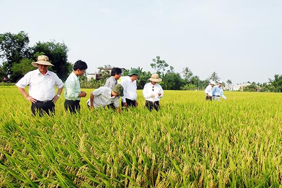 Hàng năm, HTXNN Đại Minh (Đại Lộc) liên kết sản xuất và cung ứng ra thị trường 1.000 tấn giống lúa. Ảnh: VĂN SỰ