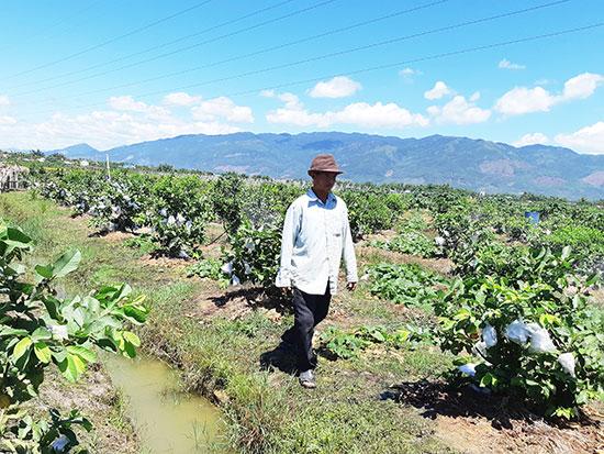 Vườn cây ăn quả trên 5ha đất lúa chuyển đổi của anh Hồ Đình Hải hứa hẹn cho hiệu quả kinh tế cao. Ảnh: B.LIÊN