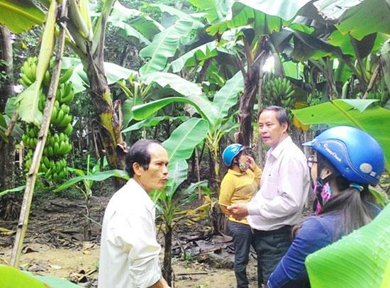 Trồng chuối lùn cho hiệu quả kinh tế cao tại xã Tam Ngọc. Ảnh: G.SƠN
