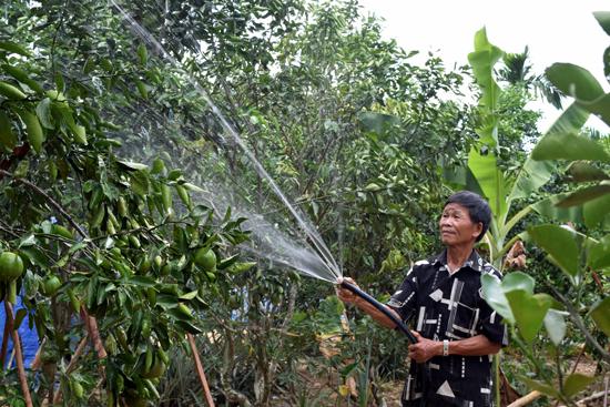 Xã Tiên Hà đang nhân rộng mô hình trồng cam giấy thành vùng chuyên canh. Ảnh: NHẬT QUÂN