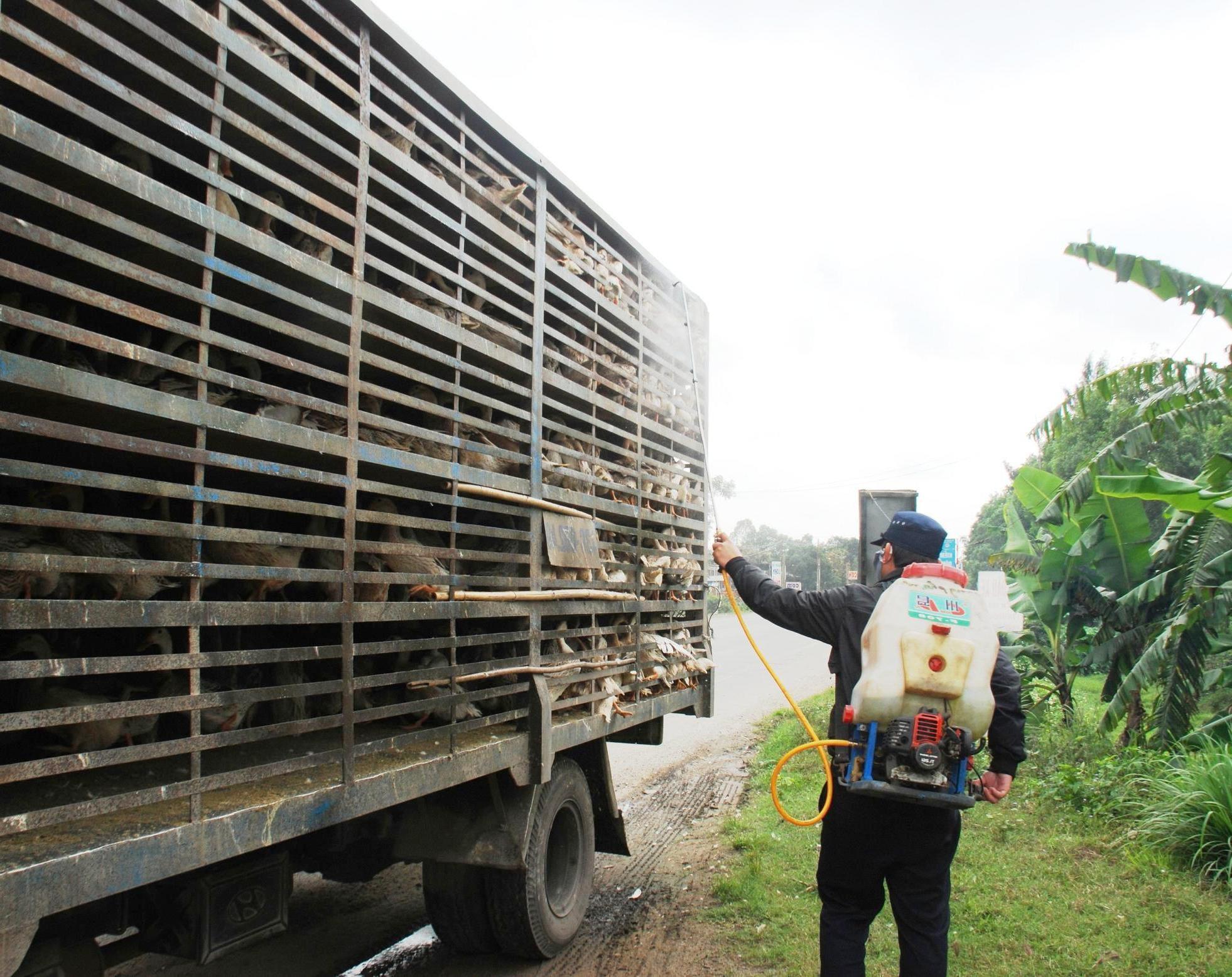 Cần kiểm soát chặt chẽ việc vận chuyển gia súc, gia cầm vào địa bàn tỉnh.