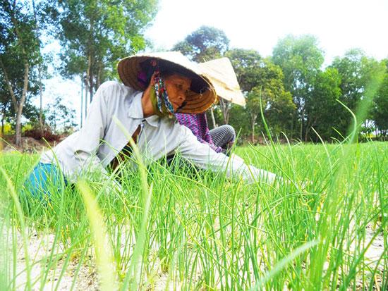 Xây dựng nhãn thương hiệu nén An Phú giúp nông dân quảng bá sản phẩm, mở rộng sản xuất. Ảnh: T.Q