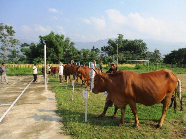 Cuộc thi thu hút 10 chú bò đẹp nhất đến từ 10 thôn trên địa bàn xã Đại Hồng tham dự. Ảnh: H.LIÊN