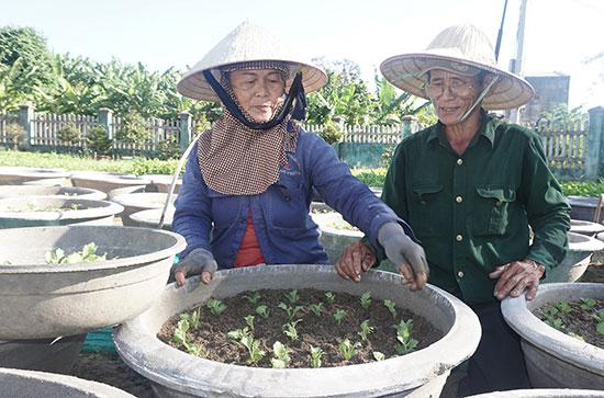 Ông Nguyễn Văn Sáu cùng vợ cấy giống hoa cúc đại đoá trồng bán dịp Tết Nguyên đán. Ảnh: NHƯ TRANG