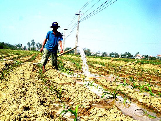 Nông dân huyện Thăng Bình tự tìm nguồn nước tưới cho cây trồng cạn khi không được cung cấp từ thủy lợi. Ảnh: QUANG VIỆT