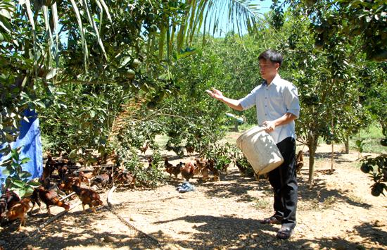 Nuôi gà dưới vườn trái cây giúp anh Hiệp thu nhập 150 triệu/1 năm. Ảnh: HỒ QUÂN