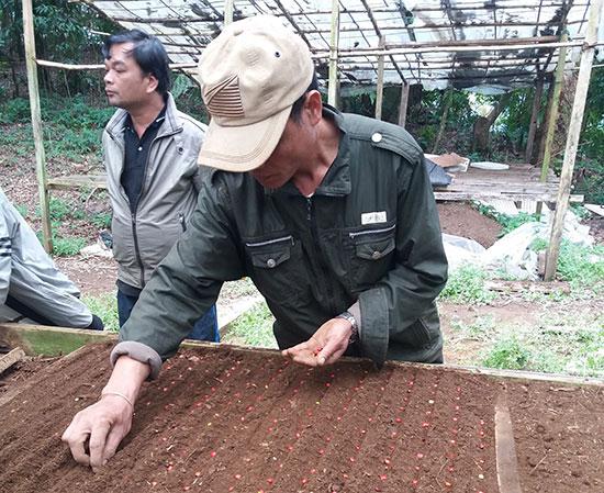 Cán bộ kỹ thuật Trung tâm Phát triển sâm Ngọc Linh và dược liệu Quảng Nam gieo hạt giống sâm Ngọc Linh.