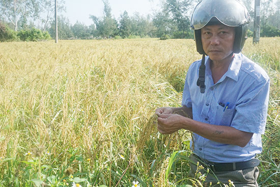 Giống nếp Hương Bàu hay còn gọi là Hương Lân đang được huyện Thăng Bình khôi phục để trở thành đặc sản quê hương. Ảnh: Biên Thực