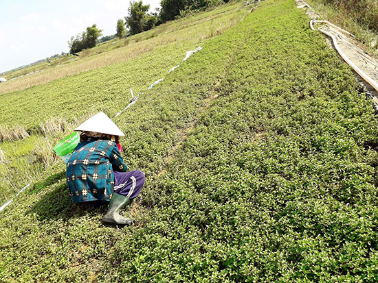 Trồng cây rau húng cho thu nhập khá ở Điện Nam Trung.Ảnh: P.PHƯƠNG