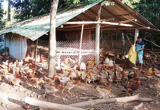 Mô hình nuôi gà thịt của anh Phan Trung Nhật, thôn Cẩm Trung, xã Tiên Cẩm cho hiệu quả kinh tế. Ảnh: N.H