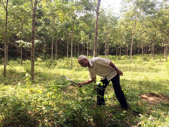 Ông Phương thường xuyên phát cây chăm sóc vườn cao su chuẩn bị thu hoạch của mình.