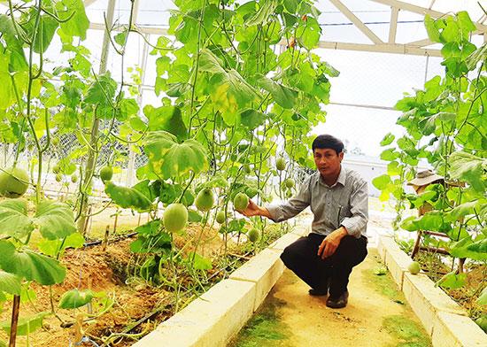 Mô hình trồng dưa lưới theo hướng liên kết của HTX Thực phẩm sạch Phú Ninh và Cơ sở Công nghệ sinh học Phú Ninh. Ảnh: H.LIÊN