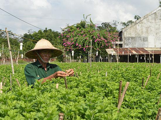 Vườn cúc nhà ông Nguyễn Văn Sáu đã được nhiều người đặt hàng tết. Ảnh: V.L
