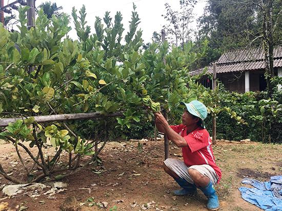 Có nguồn thu nhập ổn định từ cây phật thủ nhờ mạnh dạn chuyển đổi cây trồng.