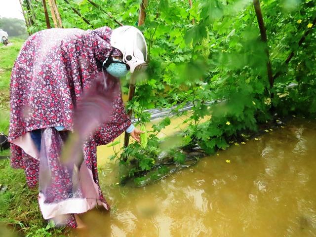 Nhiều ruộng dưa leo, khổ qua đang cho thu hoạch bị ngập úng do mưa lớn. Ảnh: HOÀNG LIÊN