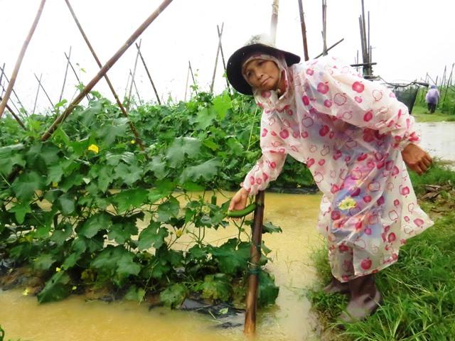 Nhiều ruộng mướp chuẩn bị thu hoạch cũng gánh chịu đợt mưa lạnh và ngập úng kéo dài nguy cơ thối rễ là rất lớn. Ảnh: HOÀNG LIÊN