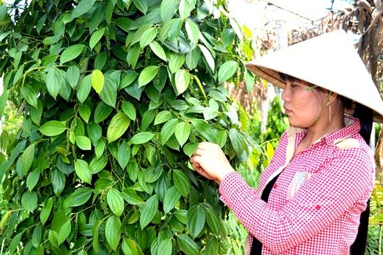 Quảng Nam cần tích tụ đất đai sản xuất hàng hóa lớn. Ảnh: QUANG VIỆT