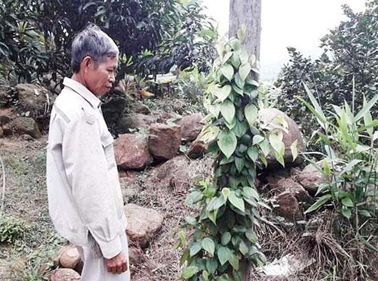 Mô hình cây tiêu giống được hỗ trợ của ông Nguyễn Sắc, xã Quế Trung. Ảnh: P.PHƯƠNG