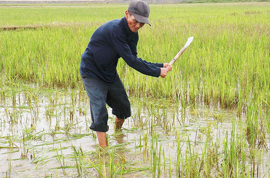 Nông dân Duy Xuyên tập trung vệ sinh đồng ruộng, chuẩn bị triển khai sản xuất vụ lúa đông xuân 2018-2019. Ảnh: VĂN SỰ