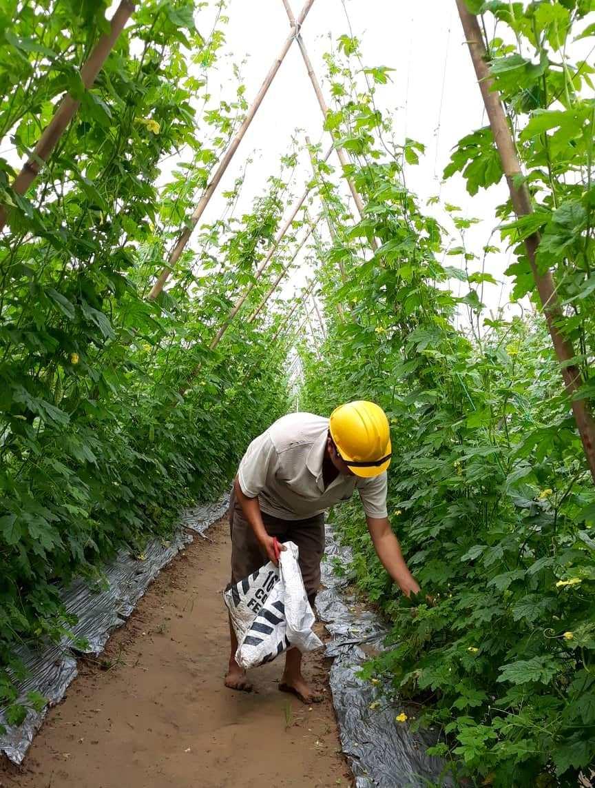 Thu hoạch nông sản sau lụt. Ảnh C.N