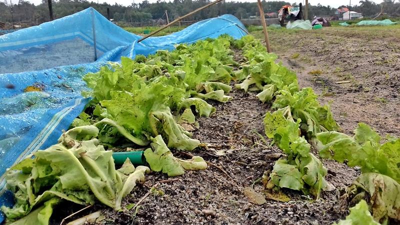 Sau đợt mưa lớn hàng trăm hec ta rau vụ Tết của nông dân bị hư hỏng toàn bộ. Ảnh: V. Đ