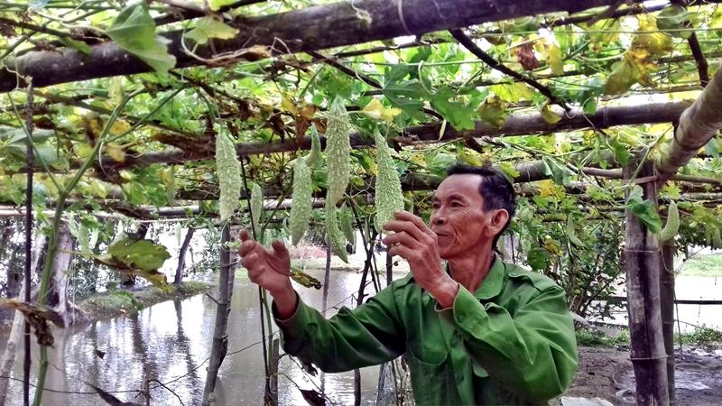 Bị úng thủy 500 gốc khổ qua của ông Châu Ngọc Khiêm (xã Tam Xuân 2) bắt đầu khô lá, thối gốc. Ảnh: V. Đ