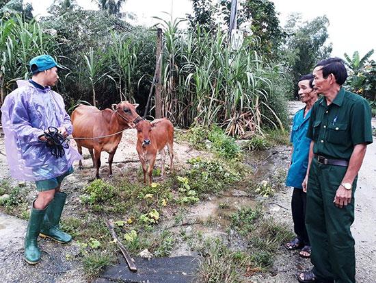 Hội Cựu chiến binh Quế Sơn hỗ trợ bò giống mở thêm sinh kế giúp gia đình hội viên có điều kiện thoát nghèo. Ảnh: T.L