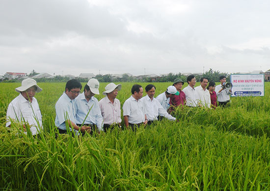 Mô hình liên kết với doanh nghiệp sản xuất hạt giống lúa lai thế hệ F1 theo chuỗi giá trị của Hợp tác xã nông nghiệp Ái Nghĩa (Đại Lộc) mang lại hiệu quả kinh tế cao. Ảnh: P.Đ